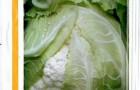 Сорт капусты цветной: Сантамария f1