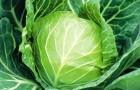 Сорт капусты белокочанной: Санторино сиксти f1