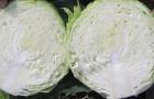 Сорт капусты белокочанной: Северина f1