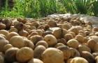 Сорт картофеля: Северный