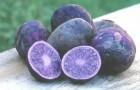 Сорт картофеля: Синева