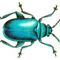 Синяя капустная блоха