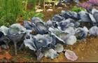 Сорт капусты белокочанной: Сириус f1