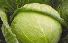 Сорт капусты белокочанной: Слава 1305
