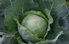 Сорт капусты белокочанной: Слава грибовская 231
