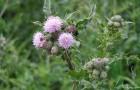 Сорняк — осот розовый (бодяк полевой)