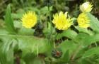 Сорняк — осот желтый (огородный)