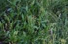 Сорняк — щавель малый (щавелек воробьиный)