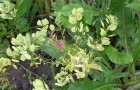 Сорняк — ярутка полевая