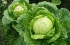 Сорт капусты белокочанной: Сотка