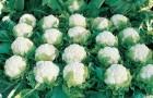 Сорт капусты цветной: Старгейт f1