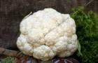 Сорт капусты цветной: Сугроб