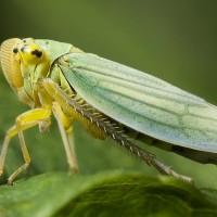 Цикада зеленая