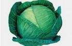 Сорт капусты белокочанной: Циклон f1