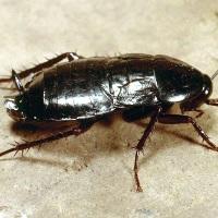 Таракан черный