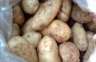 Сорт картофеля: Томич