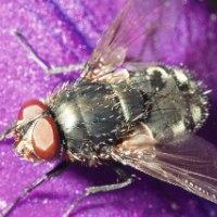 Весенняя капустная муха
