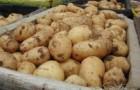 Сорт картофеля: Ветразь