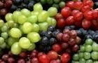 Виноград: подвязка и зимовка