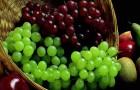Виноградник в Подмосковье