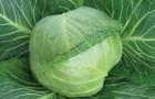 Сорт капусты белокочанной: Внучка f1