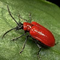 Вредитель лилейных — лилиевый жук (трещалка)