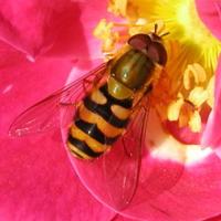 Вредитель луковичных — луковая журчалка (нарциссовая муха)