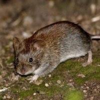 Вредители луковичных — мыши, белки и птицы