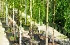 Выбор деревьев при покупке