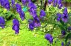 Ядовитый сорняк — аконит (борец)