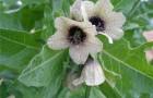 Ядовитый сорняк — белена черная