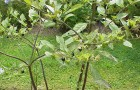 Ядовитый сорняк — белладонна (красавка)