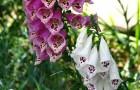 Ядовитый сорняк — наперстянка пурпурная