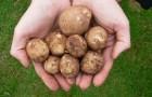 Сорт картофеля: Юна