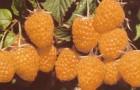 Сорт малины: Желтый гигант