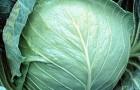 Сорт капусты белокочанной: Заказ f1
