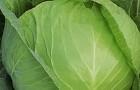 Сорт капусты белокочанной: Заря мс