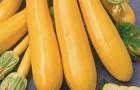 Сорт кабачка: Золотой ключик