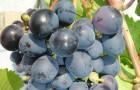 Сорт винограда: Агат донской