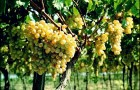 Сорт винограда: Анапский ранний