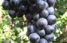 Сорт винограда: Асыл кара