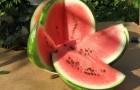 Сорт арбуза: Атаман f1