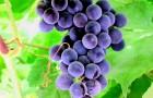 Сорт винограда: Августа