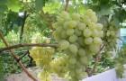 Сорт винограда: Баклановский