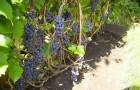 Сорт винограда: Башкирский