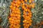 Сорт облепихи: Ботаническая любительская