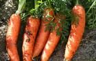 Бурая пятнистость листьев моркови