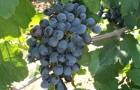Сорт винограда: Данко