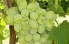 Сорт винограда: Десертный