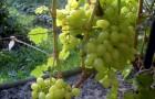 Сорт винограда: Достойный